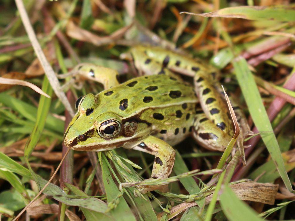 Leopard Frog New York 01 85162 990x742