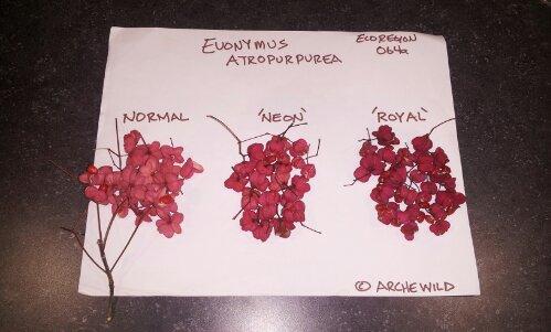 Developing Euonymus Atropurpurea (Eastern Wahoo) Cultivars