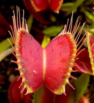 Venus Flytrap Showing Trigger Hairs