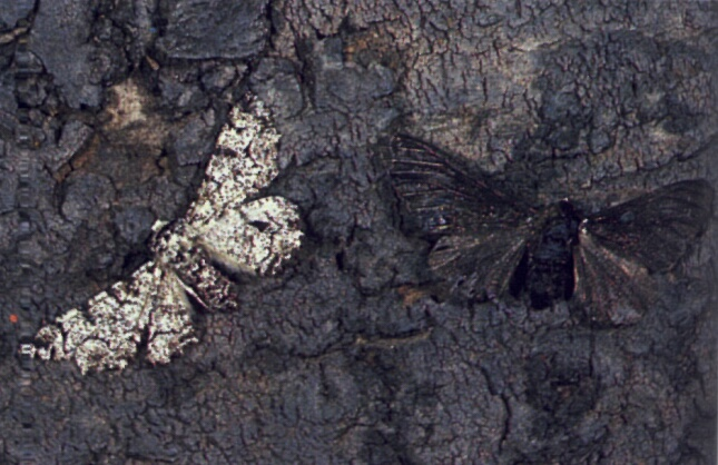 BBC News: Famous Peppered Moth's Dark Secret Revealed