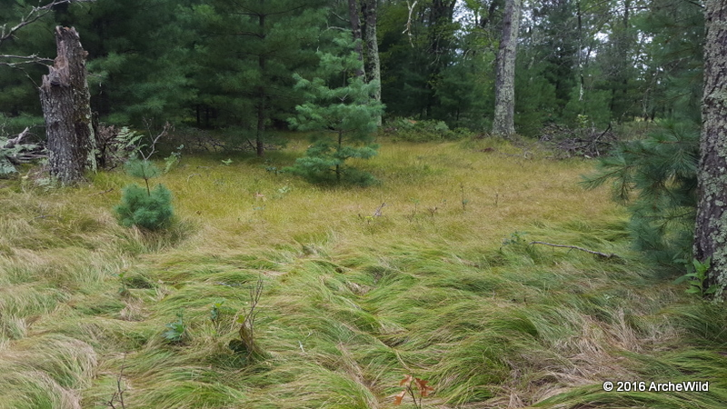 Species Spotlight – Carex Appalachica (Appalachian Sedge)