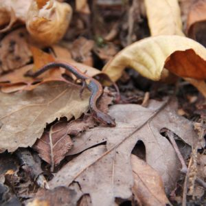 Salamanders Are An Abundant Food Source In Forest Ecosystems