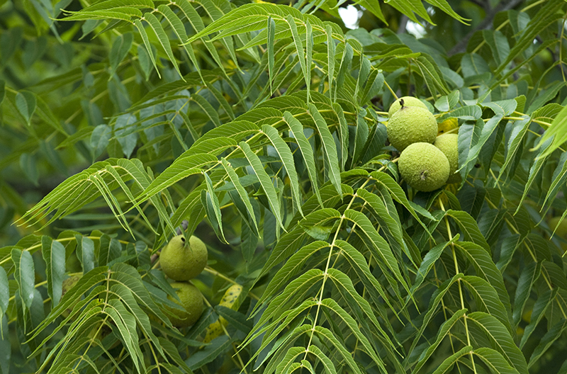Fungus Behind Deadly Disease In Walnut Trees Mutates Easily, Complicating Control