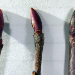 Identification Guide For Photinia Floribunda, Photinia Pyrifolia, And Photinia Melanocarpa