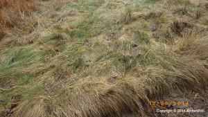 ArcheWild - Carex appalachica - EcoRegion 070c - in sun