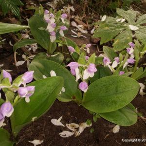 Species Spotlight – Galearis Spectabilis (showy Orchid)