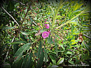 ArcheWild - Kalmia angustifolia - 6-27-2012 2-48-49 PM 3264x2448