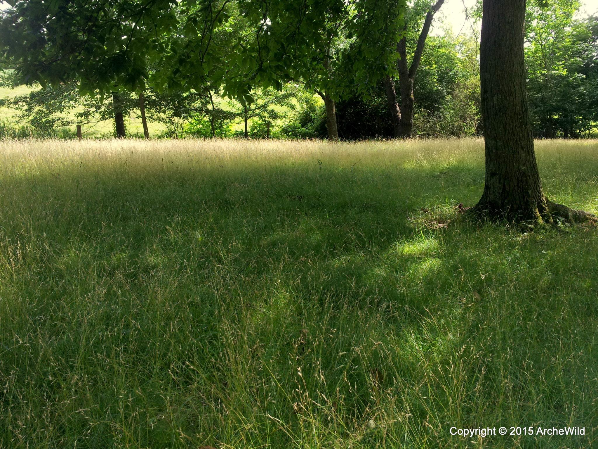 2013 Princeton NJ – Danthonia Spicata No Mow Lawn 20130703 155734