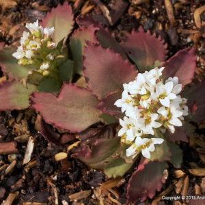 Species Spotlight – Saxifraga Virginiensis