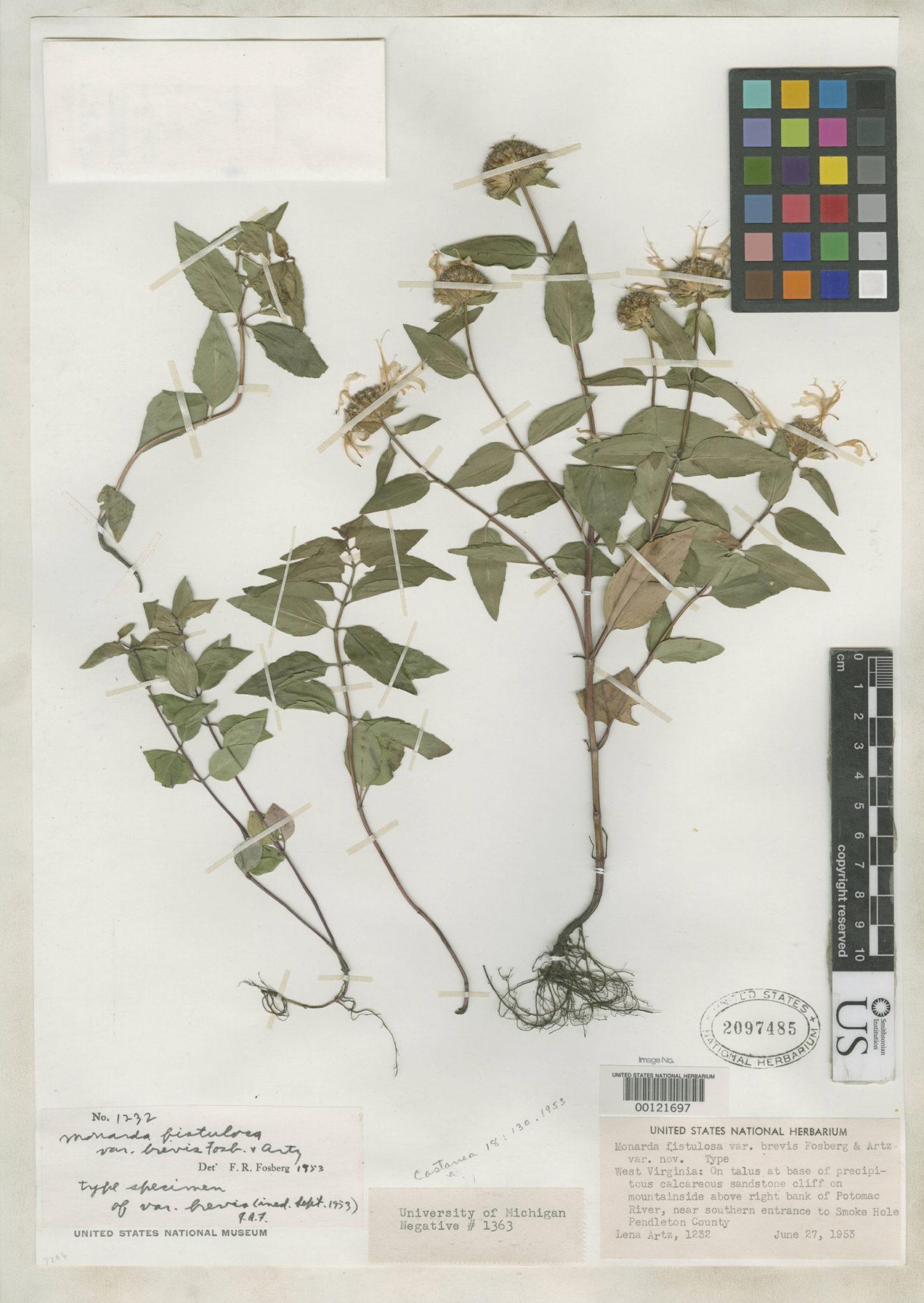 Species Spotlight - Monarda fistulosa var. brevis
