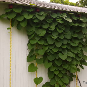 Durable Method For Hanging Aristolochia Macrophylla (pipevine)