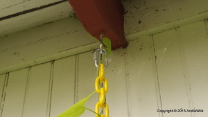 2015 ArcheWild - Aristolochia macrophylla - Hanging technique