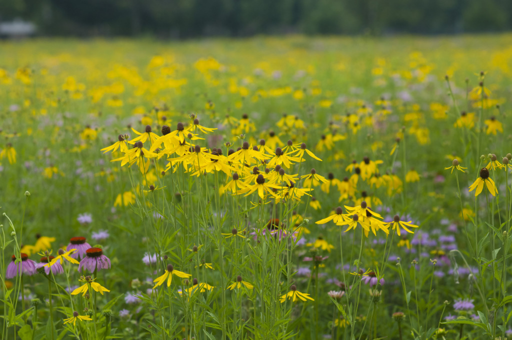A native wildflower meadow
