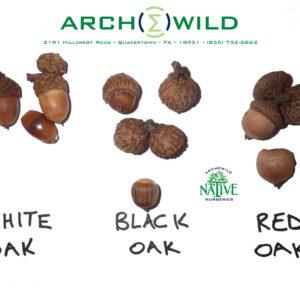 White Black Red Oak Acorn Identification