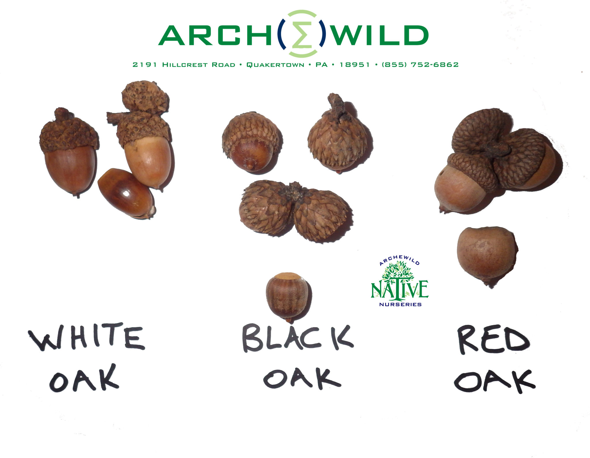 ArcheWild 2015 – White Black Red Oak Identification