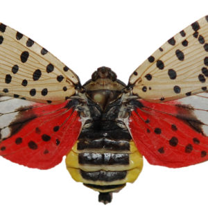 Spotted Lanternfly Alert