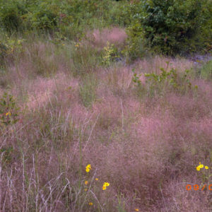 Species Spotlight – Eragrostis Spectabilis (purple Lovegrass)