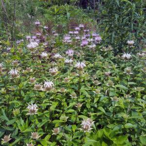 Species Spotlight – Monarda Fistulosa Var. Brevis (Smokehole Bergamot)
