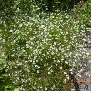 Species Spotlight – Minuartia Michauxii Var. Michauxii (Michaux's Sandwort)