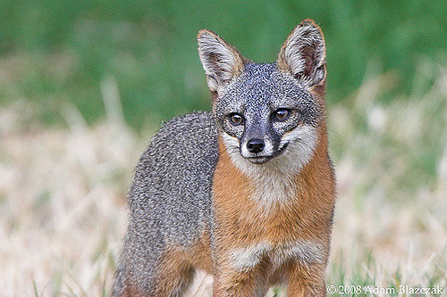 Channel Island Fox 1