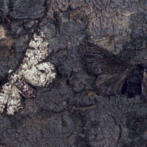 BBC News: Famous Peppered Moth's Dark Secret Revealed
