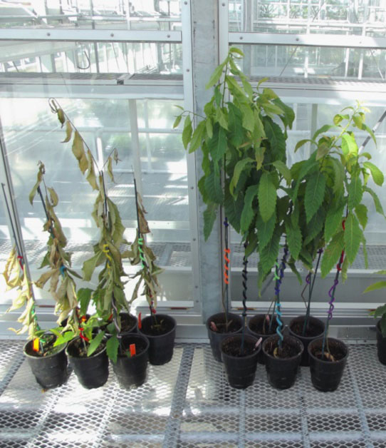 Now Available from ArcheWild: American Chestnuts - ArcheWild