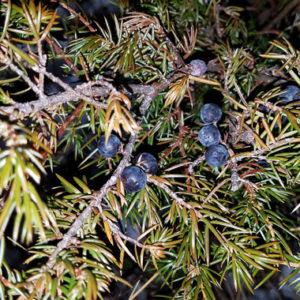 Species Spotlight – Juniperus Communis Var. Depressa