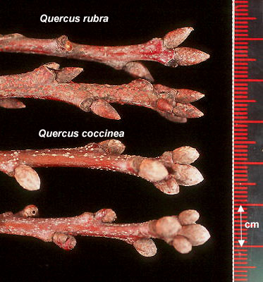 Species Spotlight – Quercus Spp. Terminal Buds