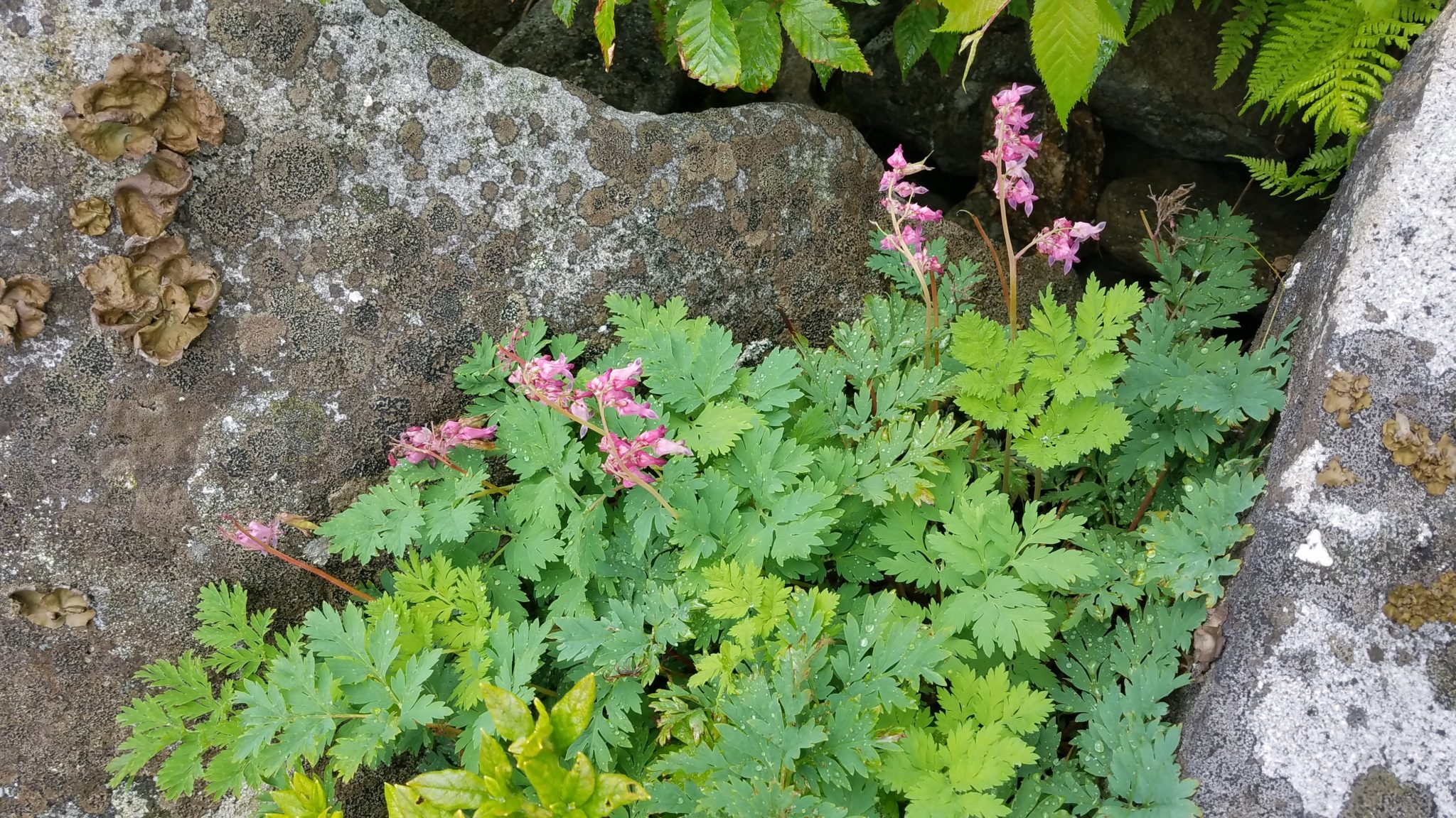 Species Spotlight – Dicentra Eximia
